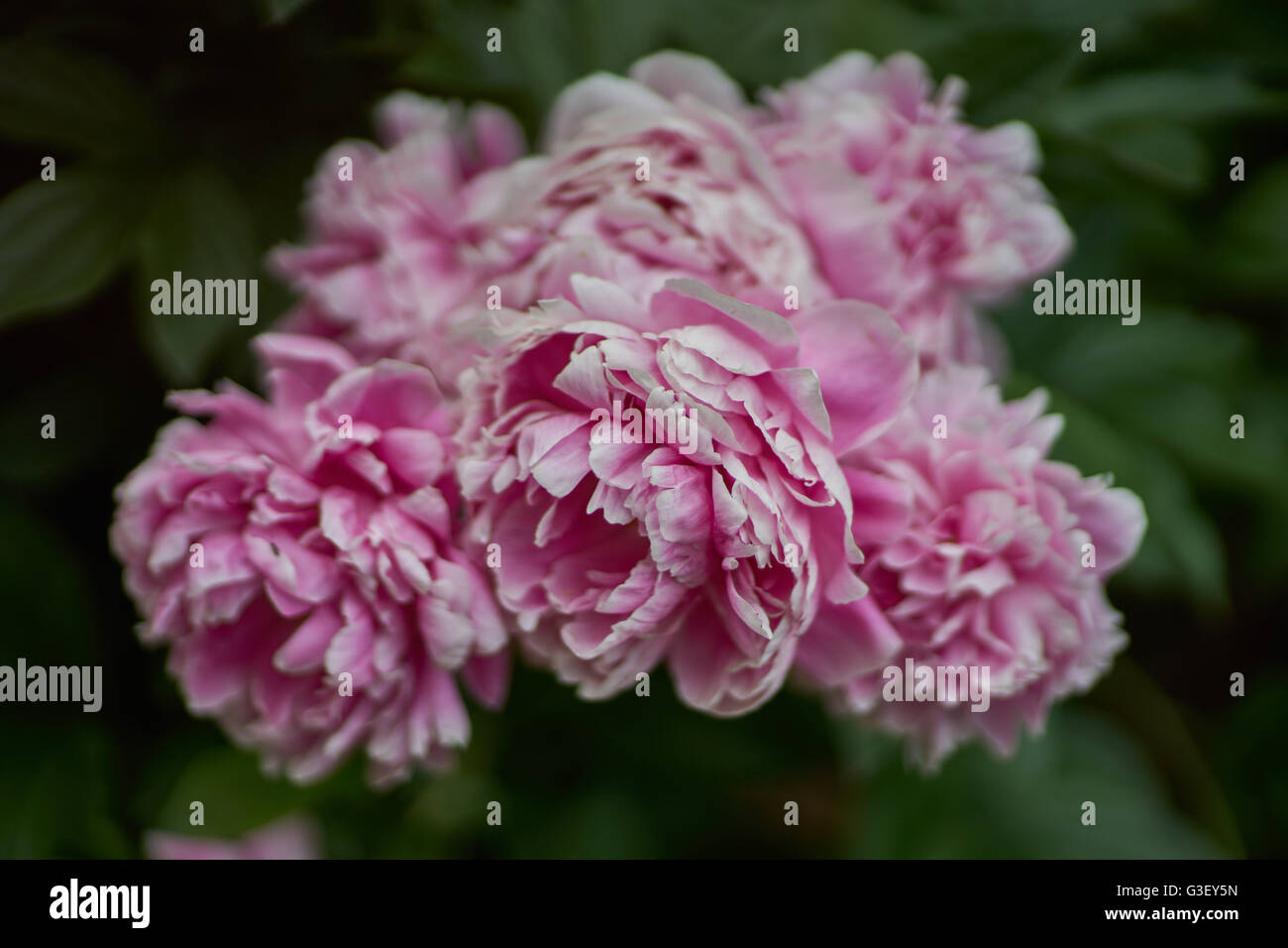 Pink white edges stock photos pink white edges stock images alamy bunch of lush dreamy pink peonies with white petal edges cloes up peonia stock image mightylinksfo