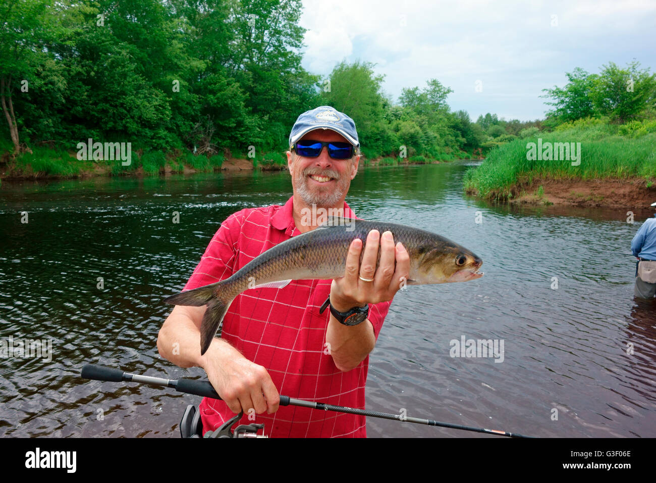 An angler or man holding an American shad (Alosa sapidissima) fish species caught in the Annapolis River of Nova - Stock Image