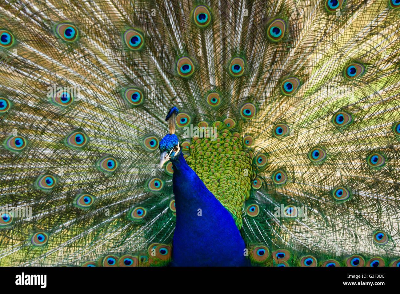 Peacock, Pavo muticus, Hesse, Germany - Stock Image