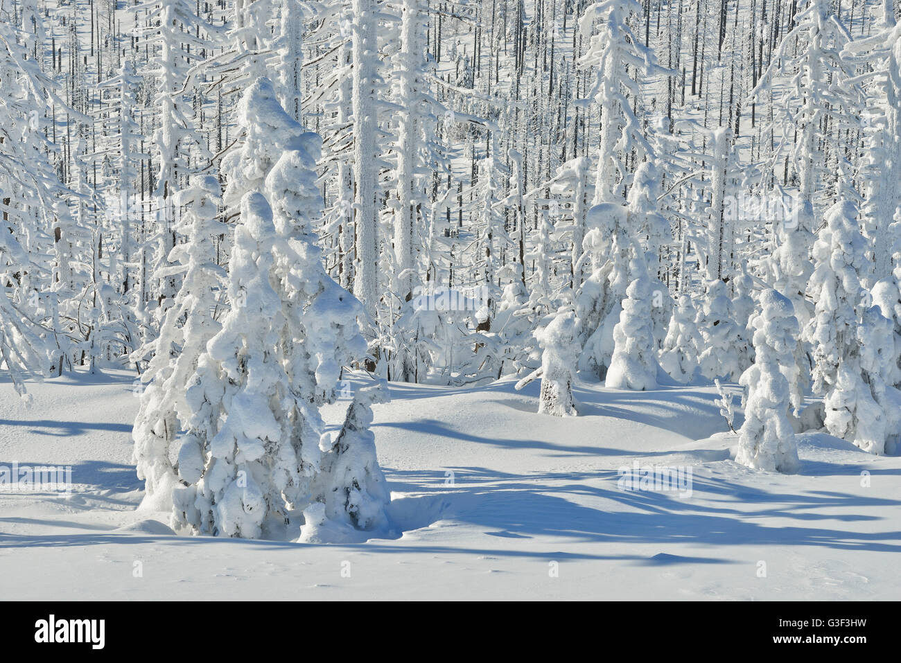 Snow Covered Conifer Forest in the Winter, Grafenau, Lusen, National Park Bavarian Forest, Bavaria, Germany - Stock Image