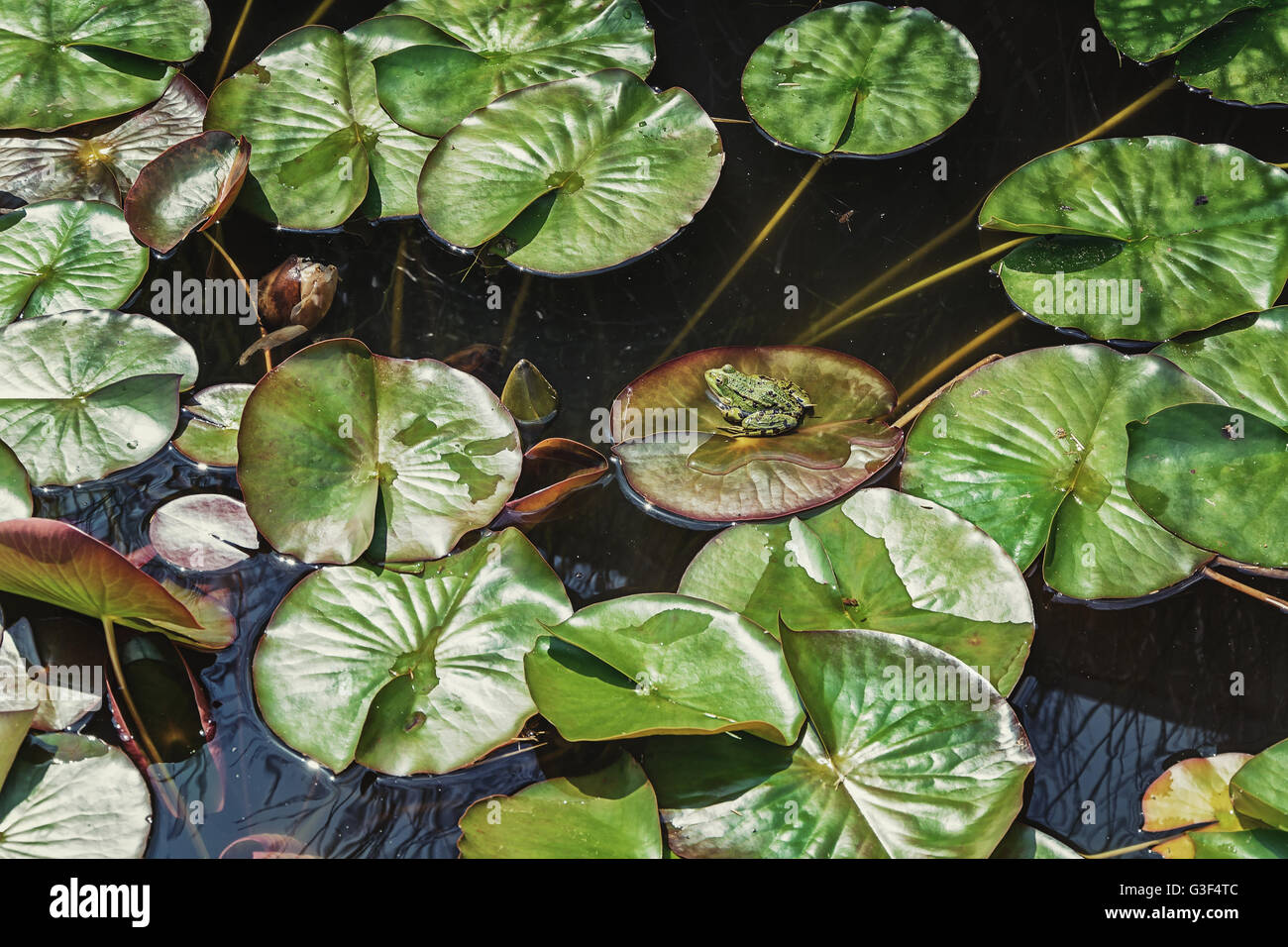 Little frog basking in the sun on the leaf of a water lily pond in the park. - Stock Image