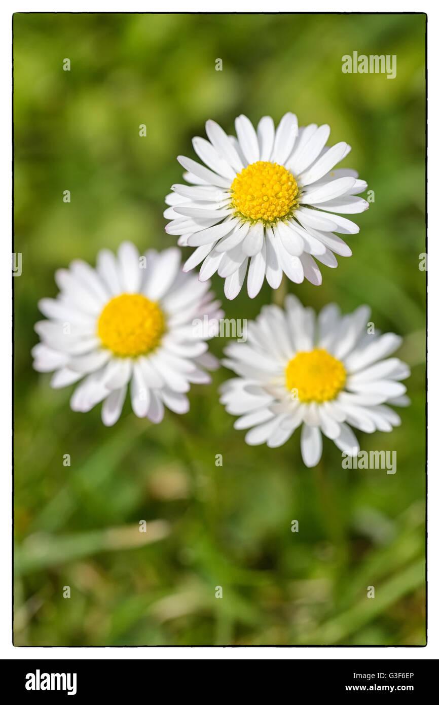 Macro shot of three white daisy flowers in a field of daisies stock macro shot of three white daisy flowers in a field of daisies vintage border izmirmasajfo