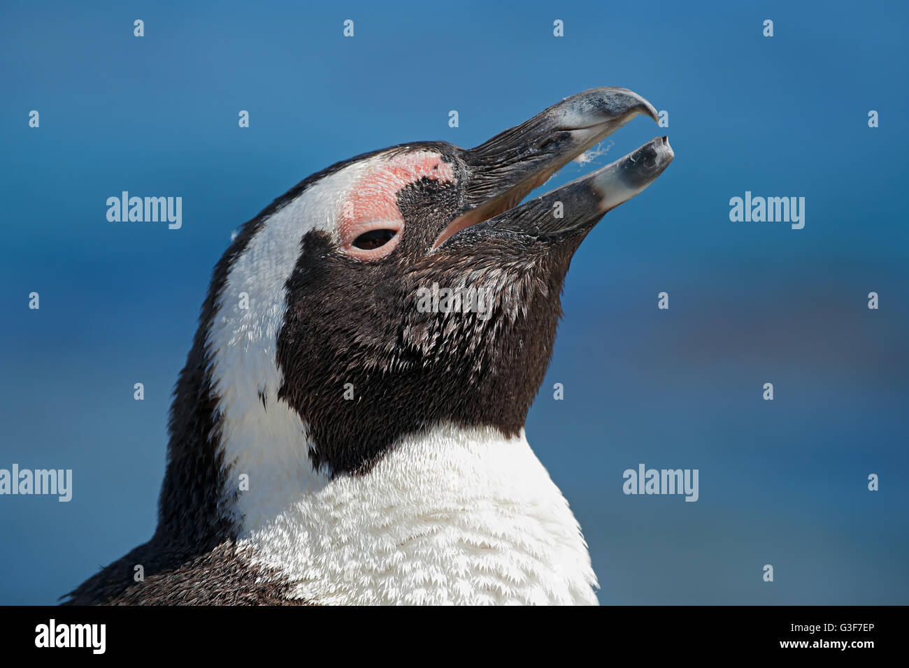Portrait of an African penguin (Spheniscus demersus), Western Cape, South Africa - Stock Image