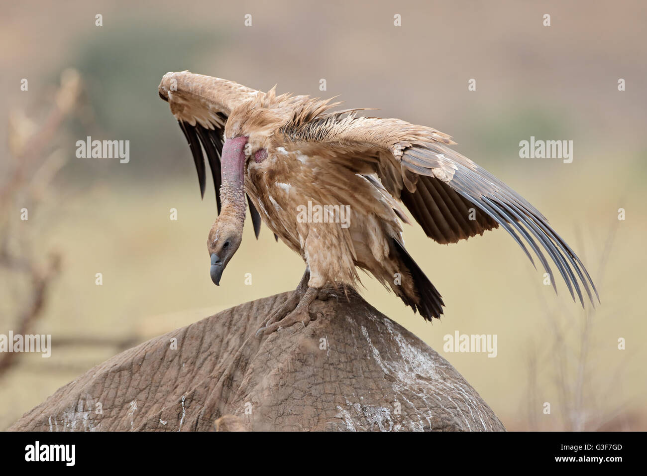 White-backed vulture (Gyps africanus) scavenging on a dead elephant, Kruger National Park, South Africa - Stock Image