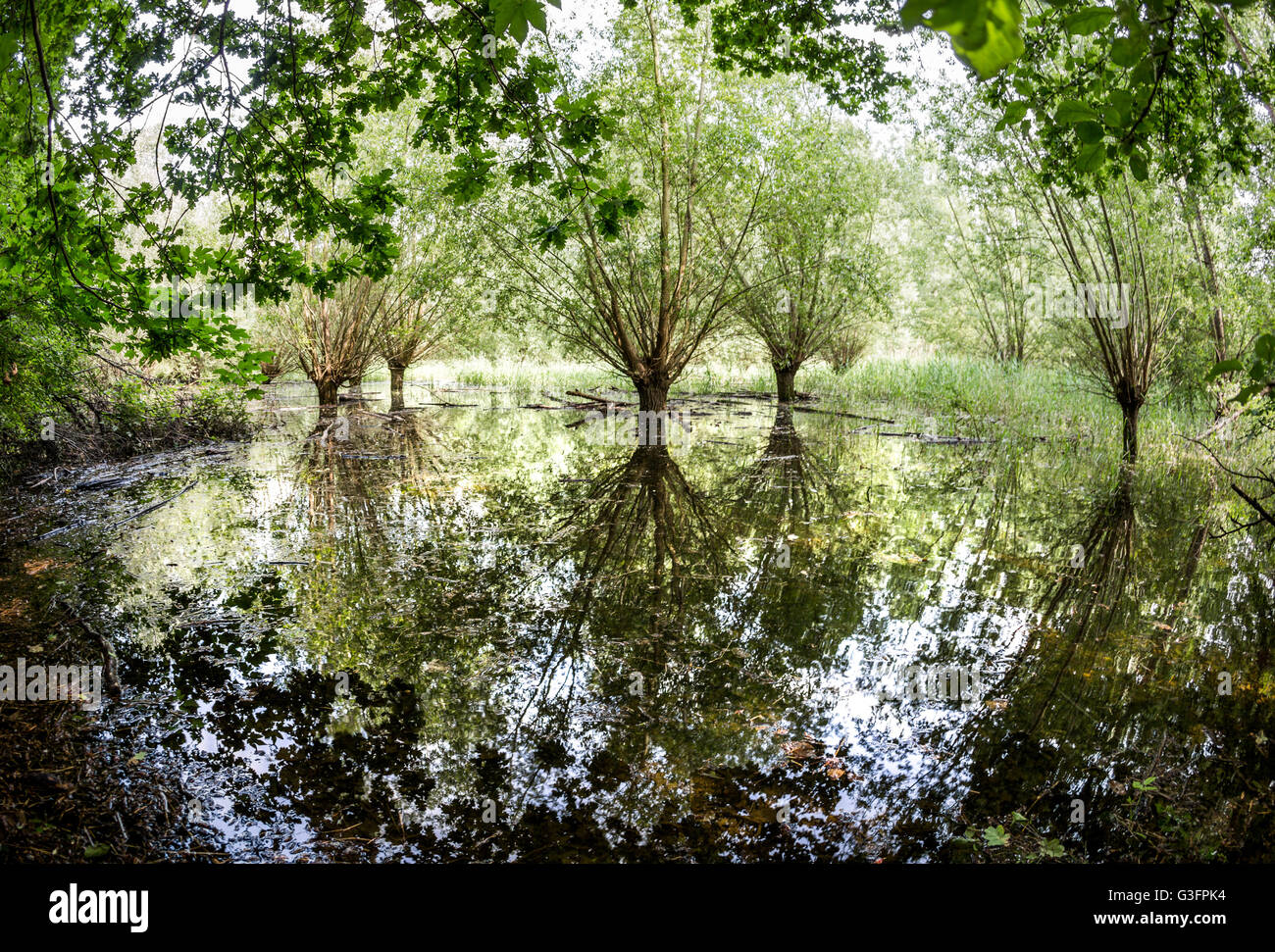 Stockstadt, Germany. 8th June, 2016. Willows reflecting in water in the nature reserve Kuehkopf near Stockstadt, Stock Photo
