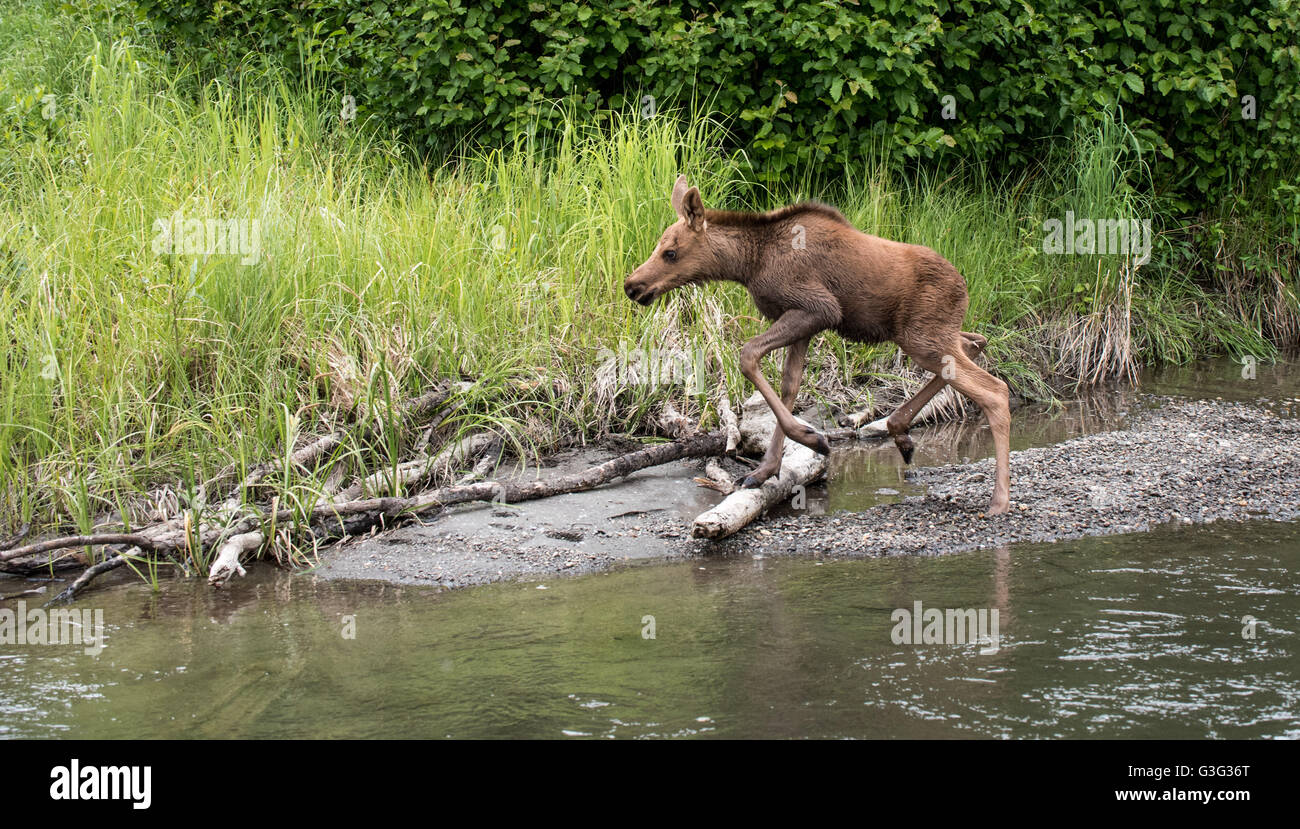 Moose calf travels along a creek in Alaska - Stock Image