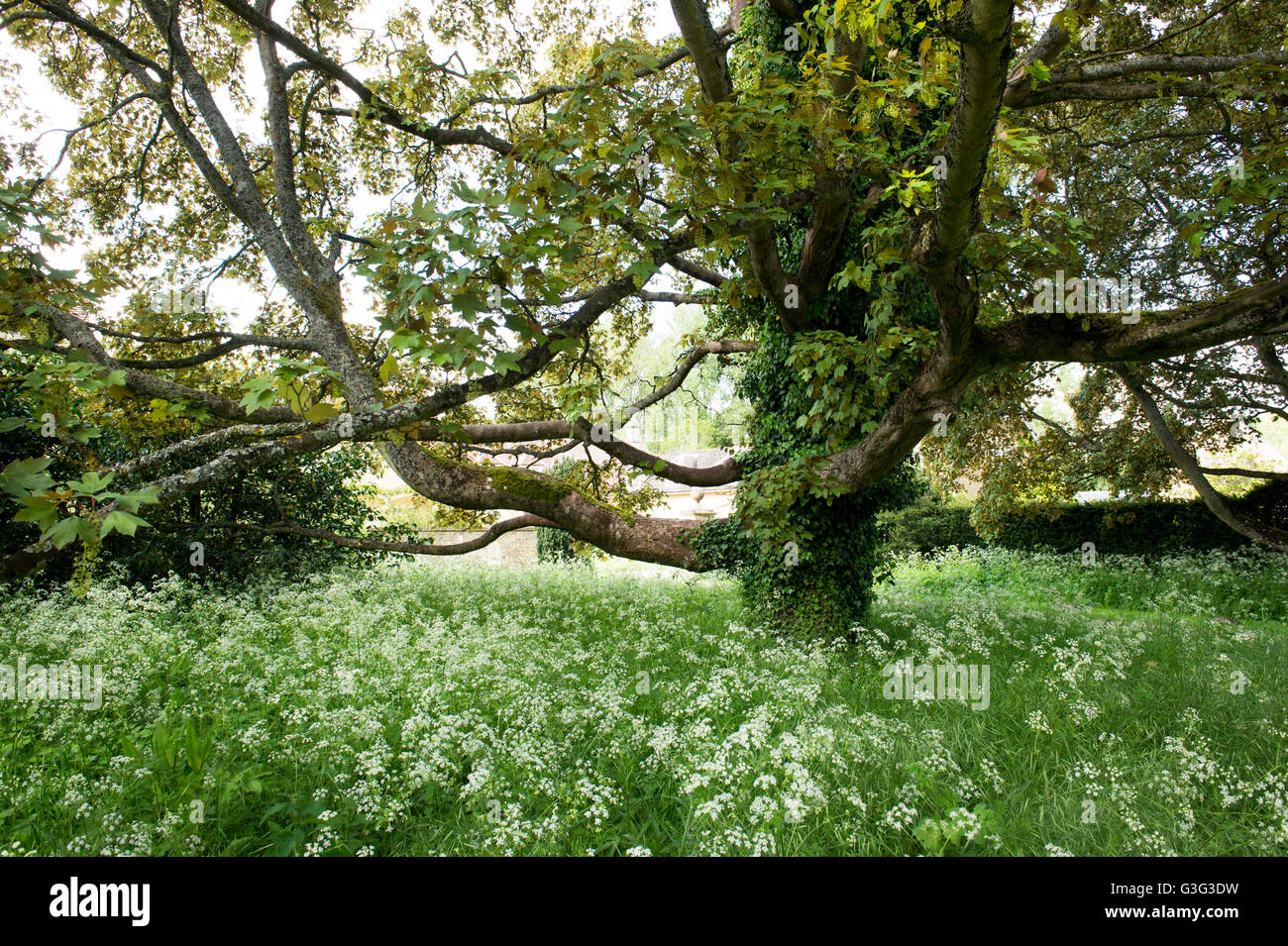 Old Acer Campestre tree. Field maple tree in spring. UK - Stock Image