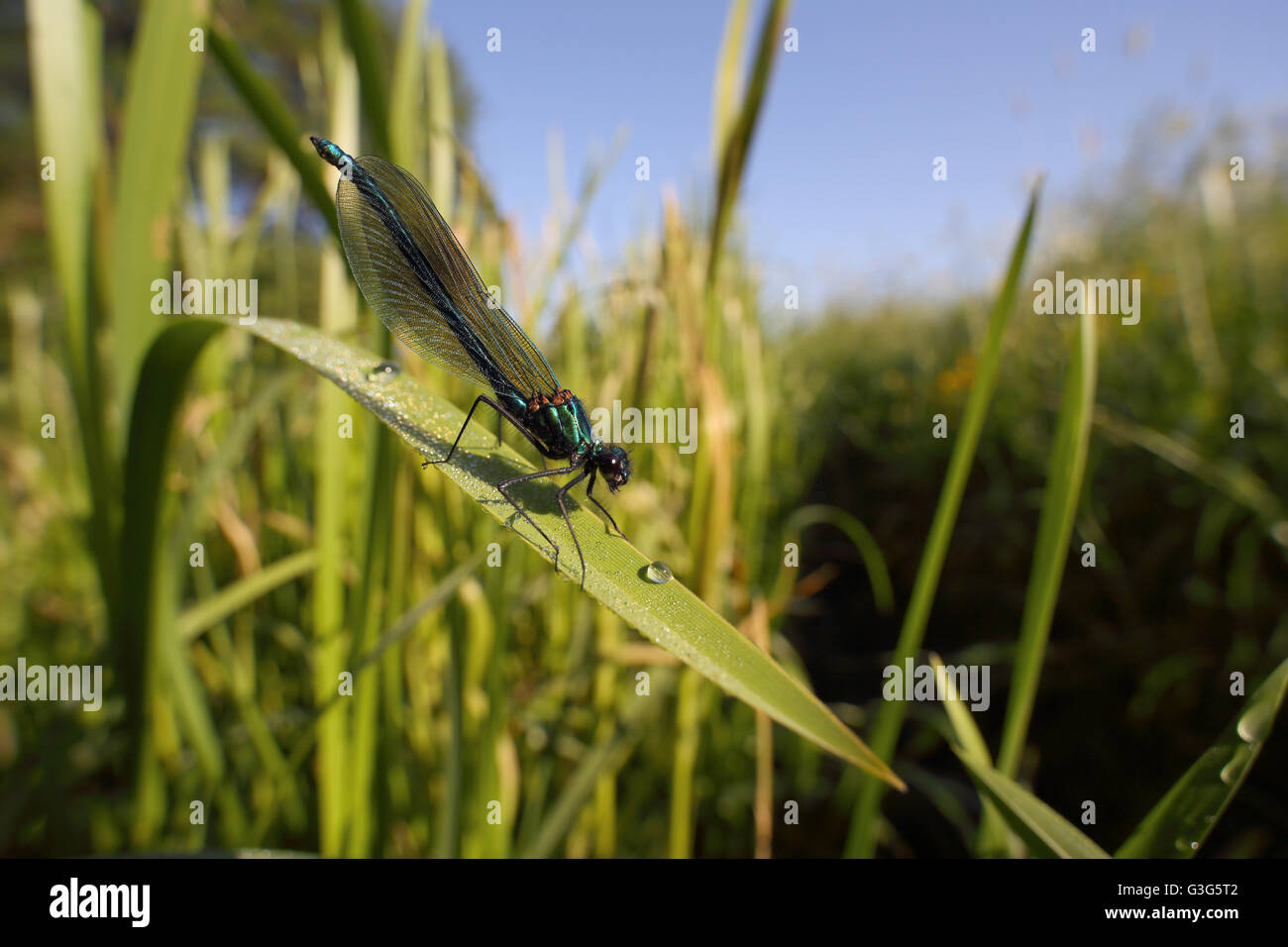 Banded demoiselle (Calopteryx splendens) and surroundings. Photographed by Vejle Aa in Denmark, June 2016. - Stock Image