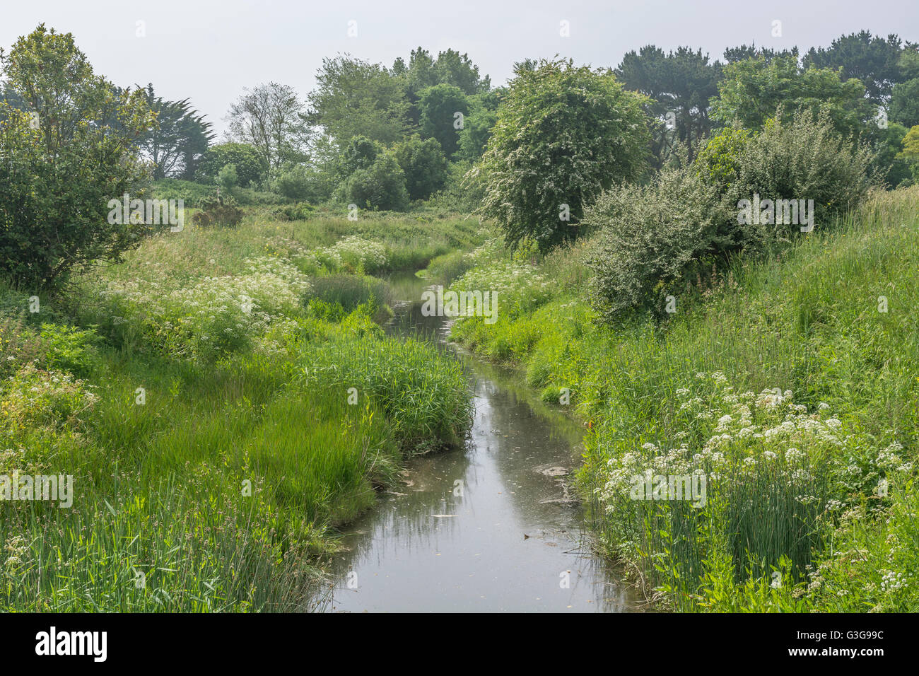 Drainage ditch filled with static water, showing clumps of poisonous water dropwort (Oenanthe crocata) by the water's - Stock Image