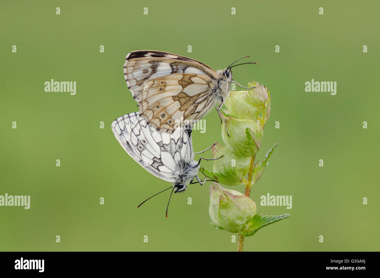 Mating Marbled White butterflies on Yellow Rattle - Stock Image