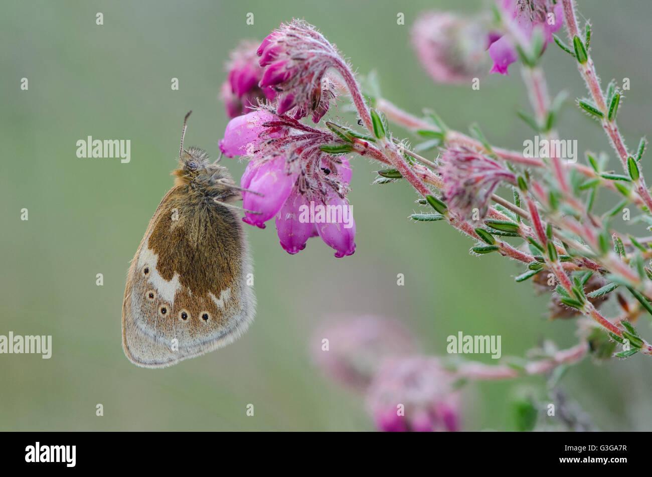 Large Heath butterfly resting on Cross-leaved Heath Stock Photo