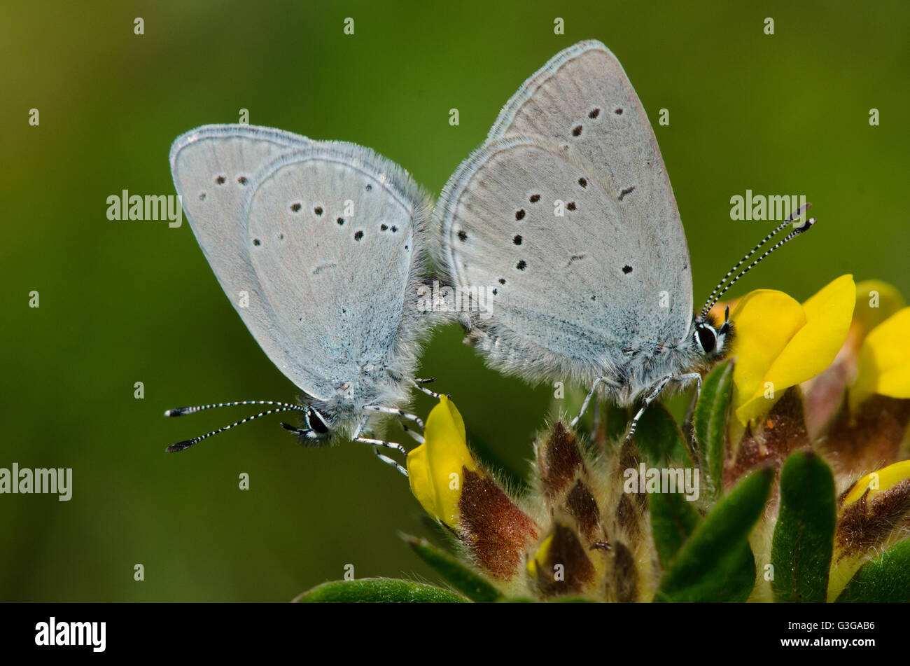 Mating Small Blue butterflies on Kidney Vetch - Stock Image