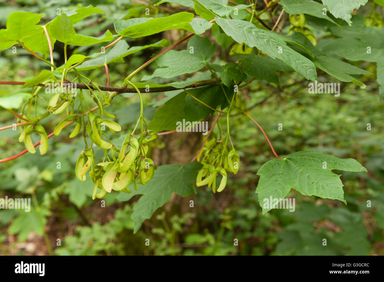 New sycamore acer tree seeds fruit developing in grape like clumps on branches ready for wind dispersal at end of season Stock Photo