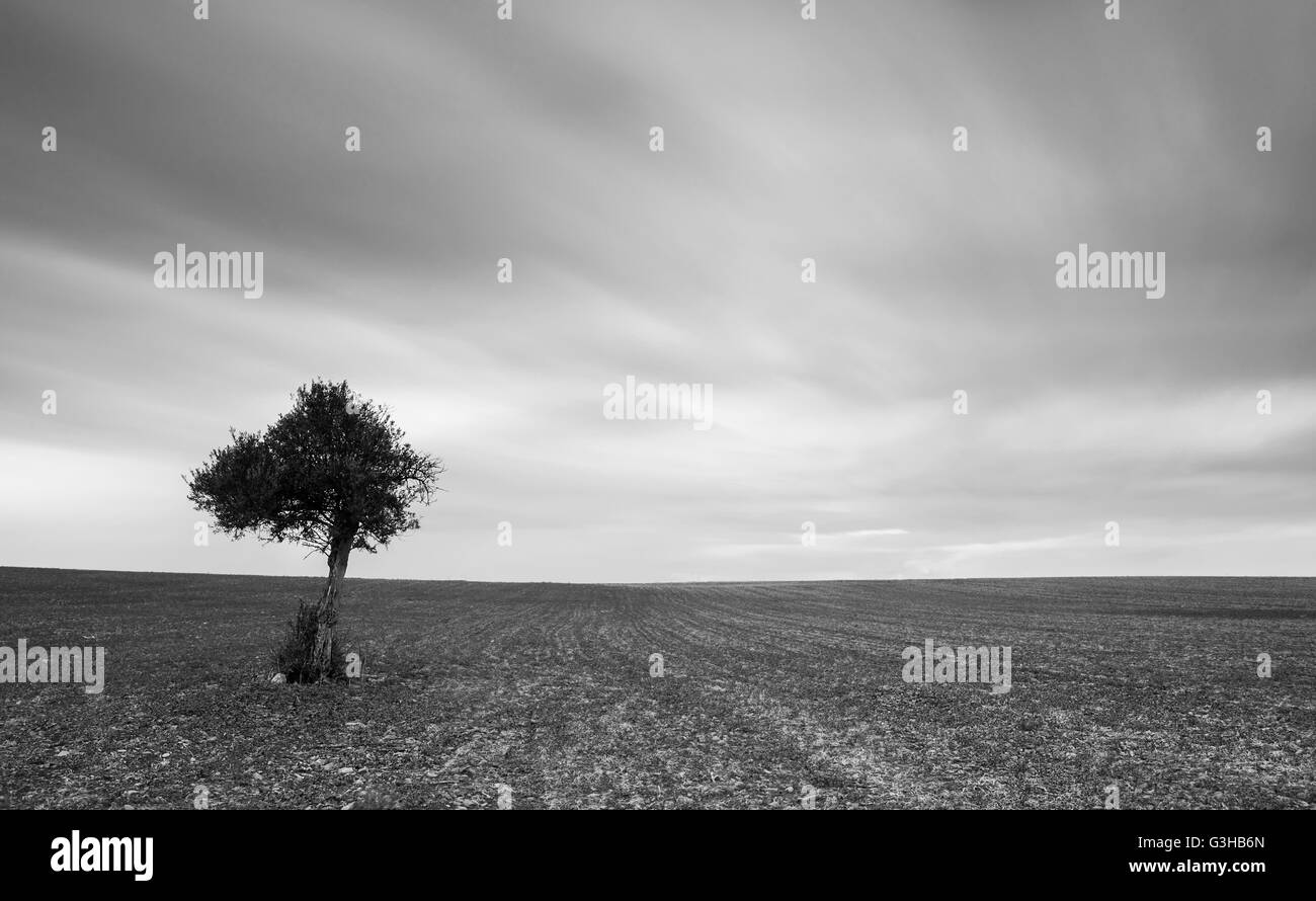 lonely olive tree on a wheat field with moving clouds. Long Exposure photo. - Stock Image