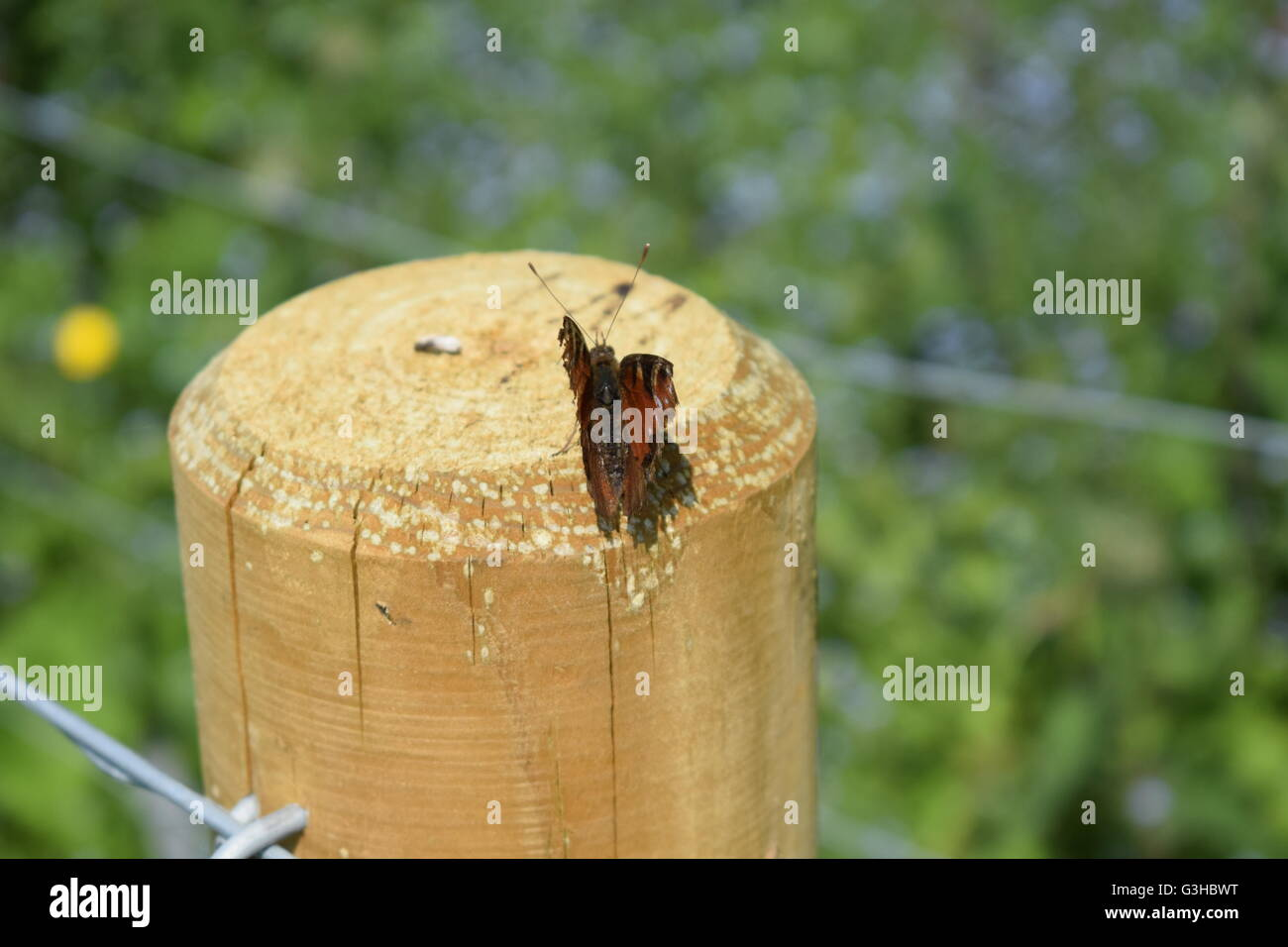 Red Admiral butterfly with broken damaged wings on wooden fence post - Stock Image