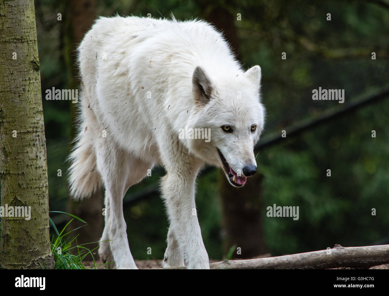 Grey Wolf at Woodland Park walks across the compound - Stock Image