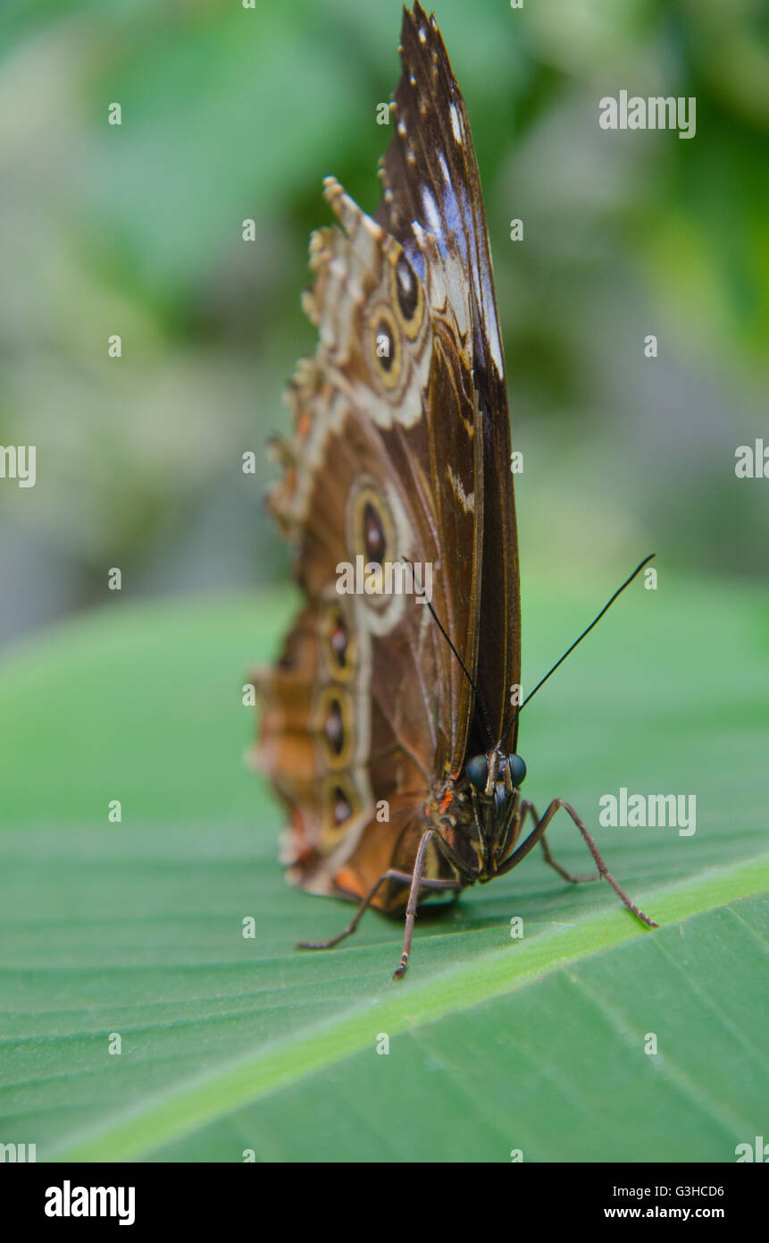 Morpho peleides butterfly sitting on a leaf - Stock Image