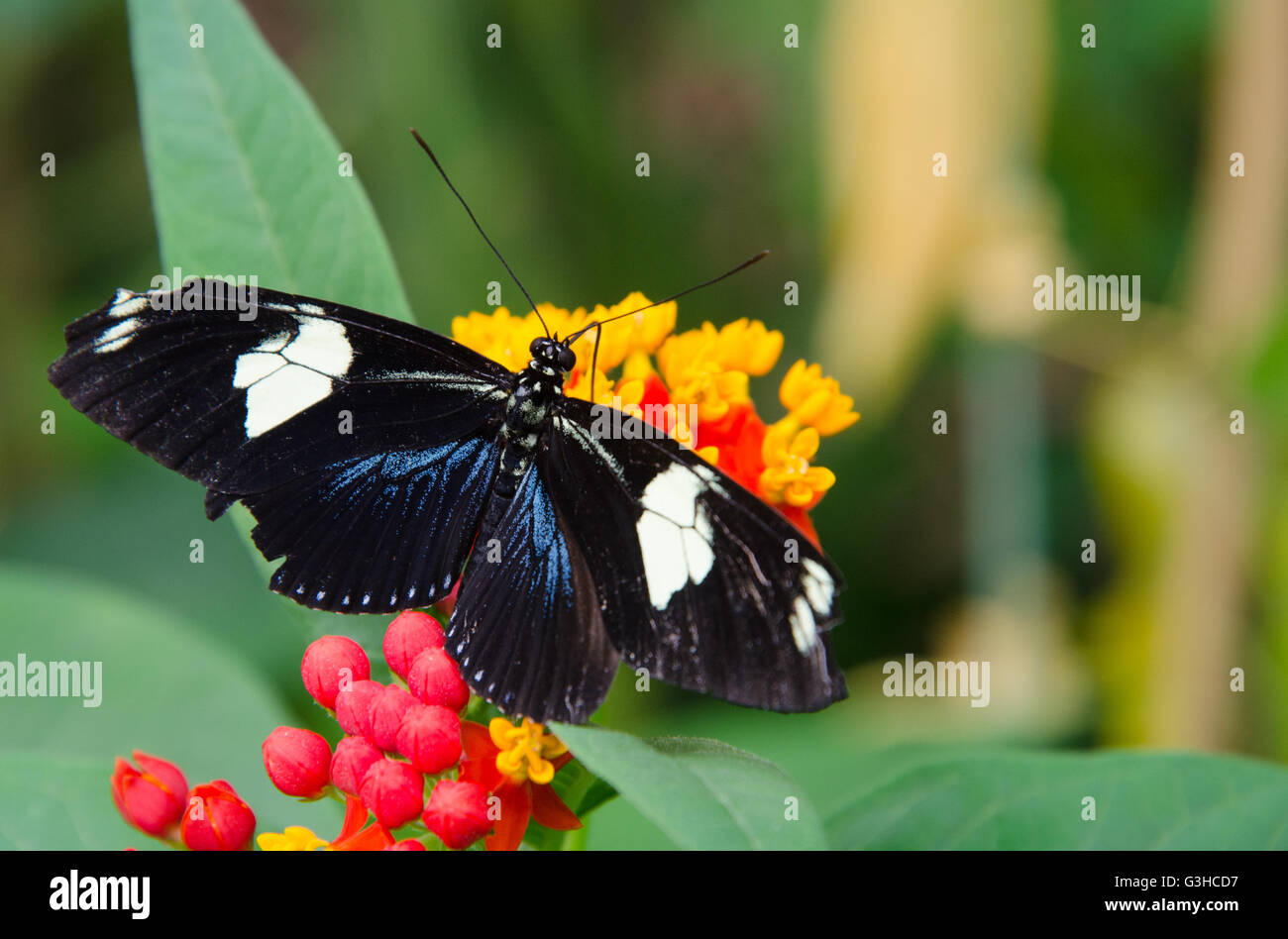 Heliconius doris butterfly sitting on a flower - Stock Image