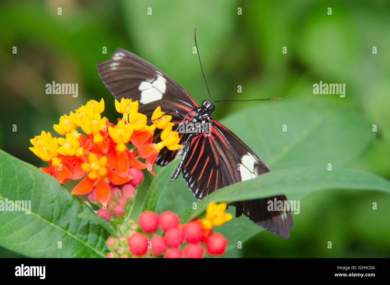 Heliconius doris butterfly hanging from a flower - Stock Image