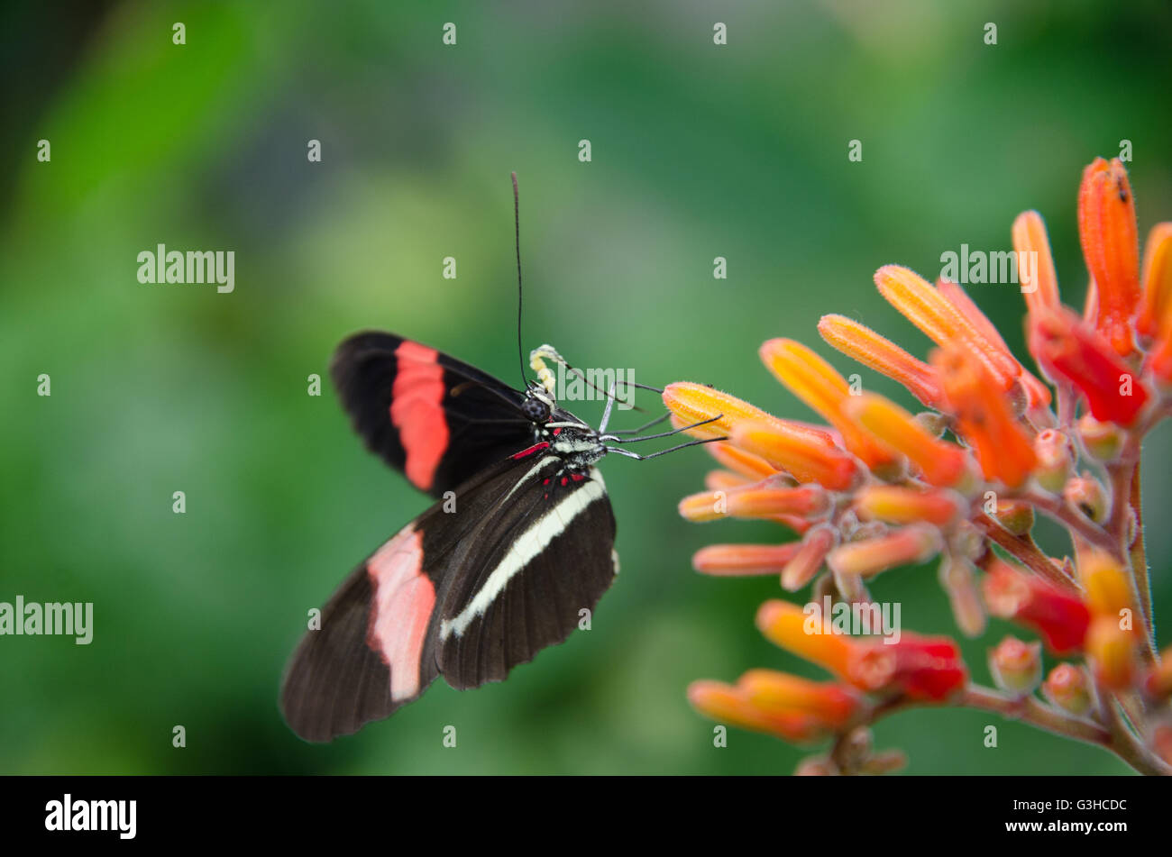 Heliconius erato butterfly sitting on a flower - Stock Image