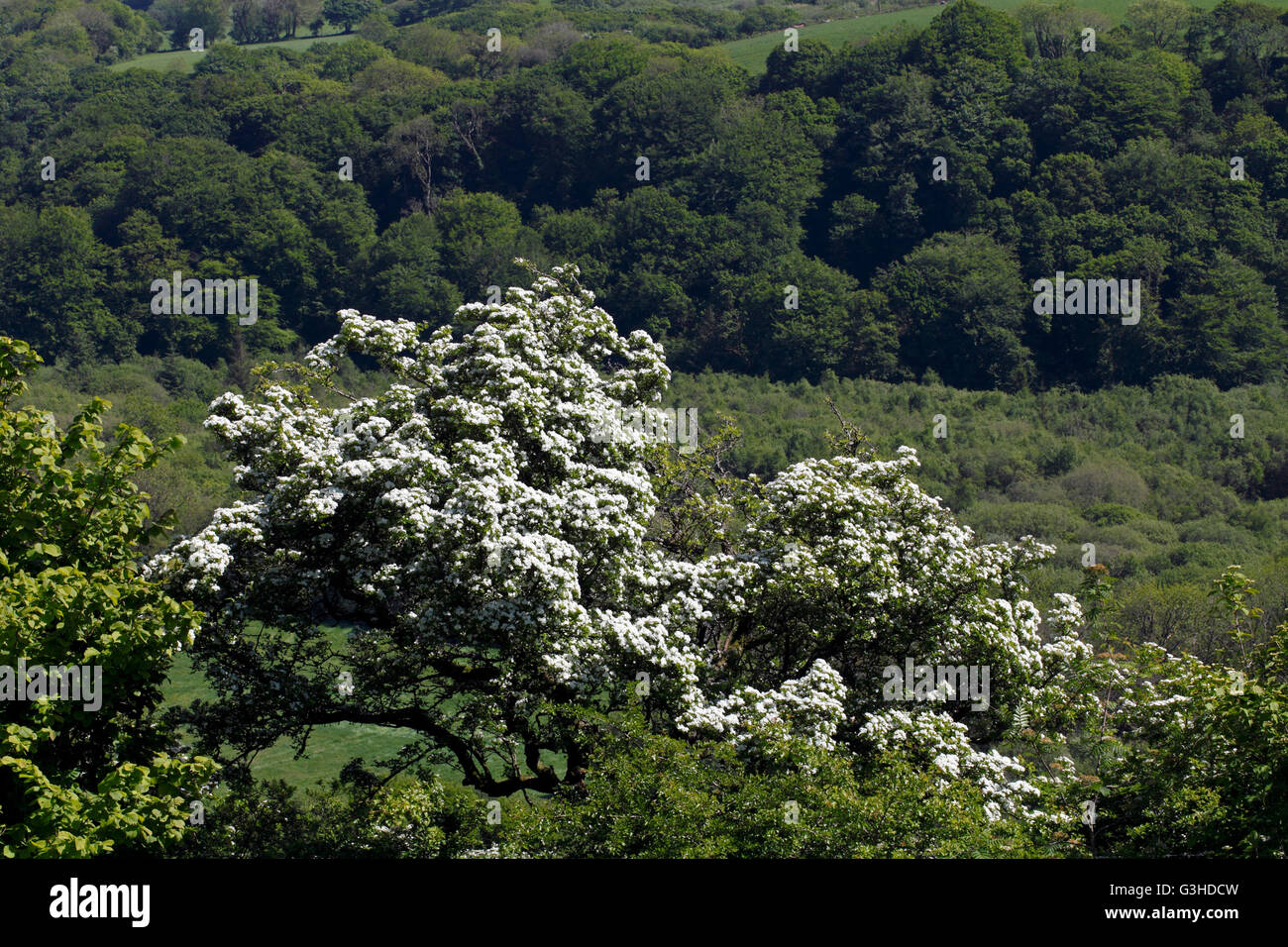 Hawthorn tree or bush set amongst other green woodland plants - Stock Image