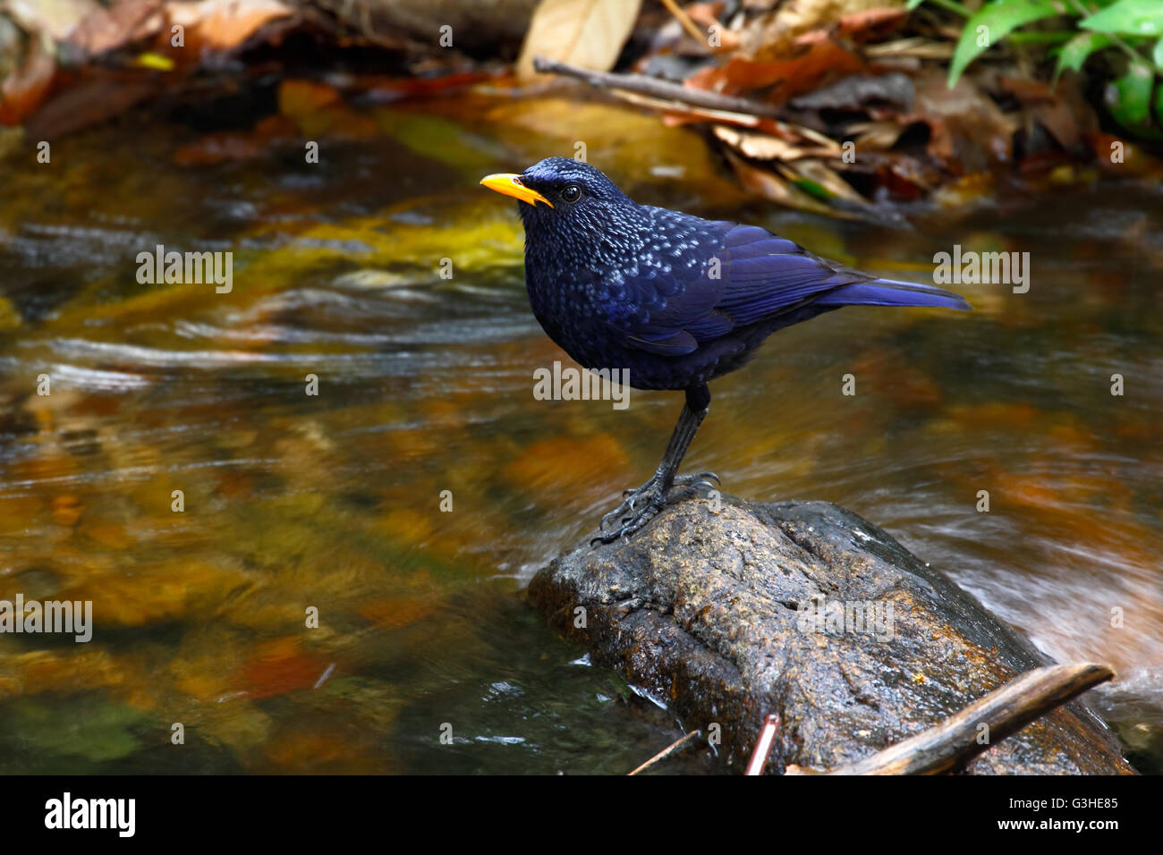 Blue whistling thrush (Myophonus caeruleus eugenei) found in Indian subcontinent and Southeast Asia Stock Photo