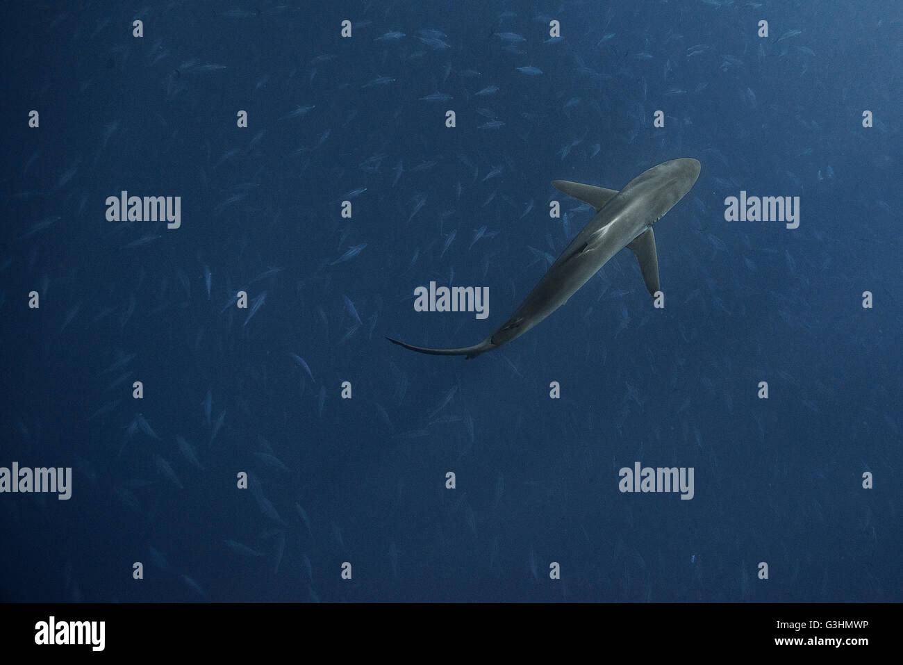 Silky shark (Carcharhinus falciformis) swims above school of bonito (sarda sarda) while hunting, San Benedicto, - Stock Image