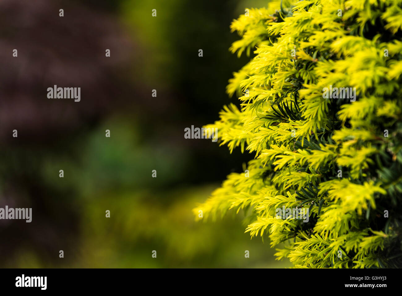 Close up of some Yew foliage. - Stock Image