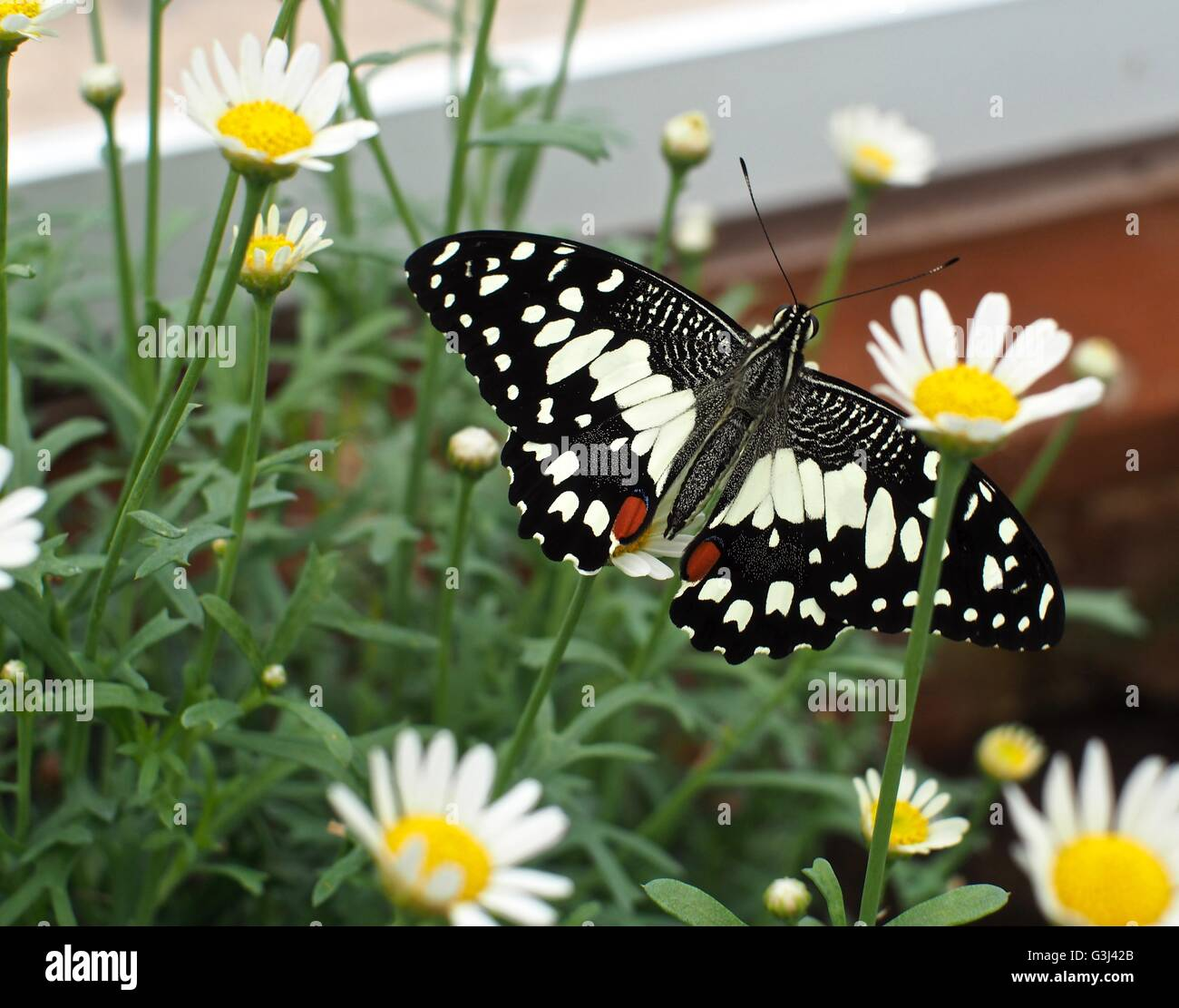 Black butterfly with pale yellow markings in amongst white flowers - Stock Image