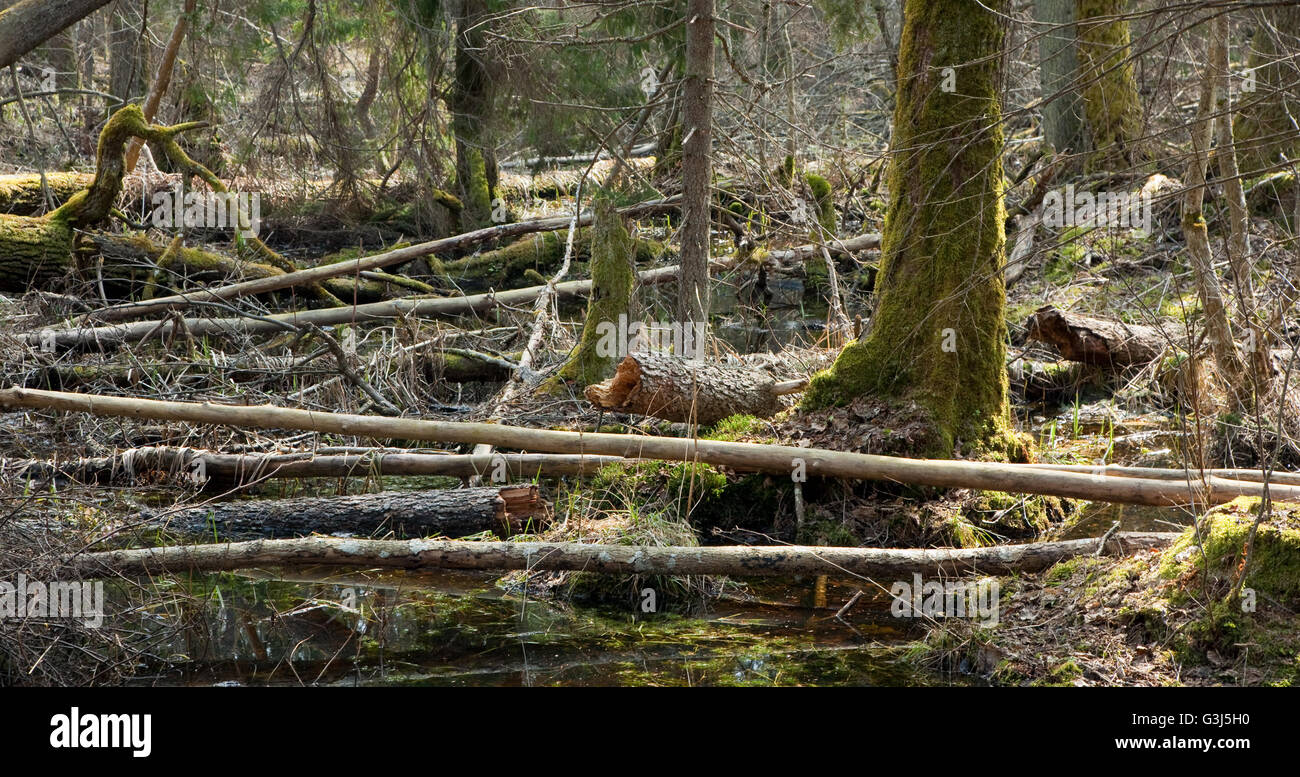 Broken trees lying in spring in deciduous stand of Bialowieza Forest, Poland, Europe - Stock Image