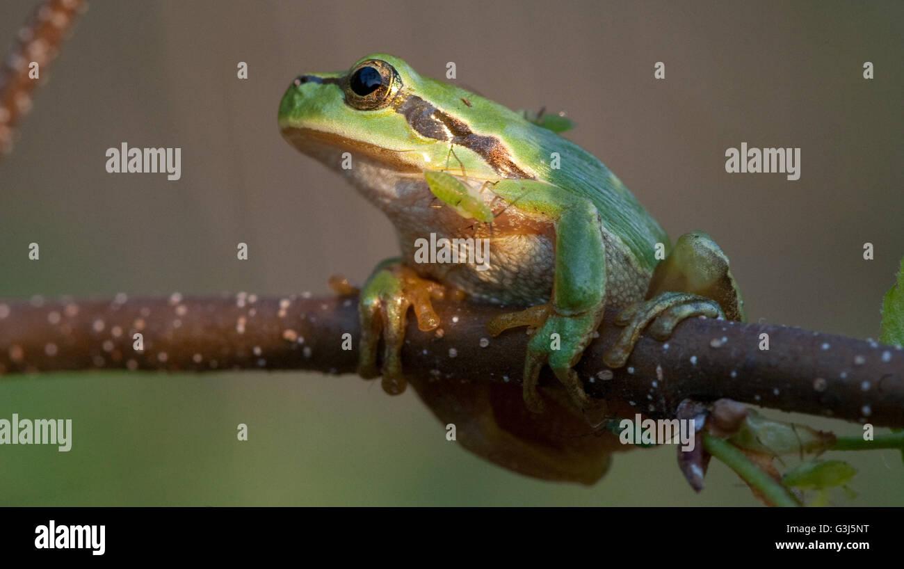 Tree frog(Hyla arborea) closeup in sunset sun Stock Photo