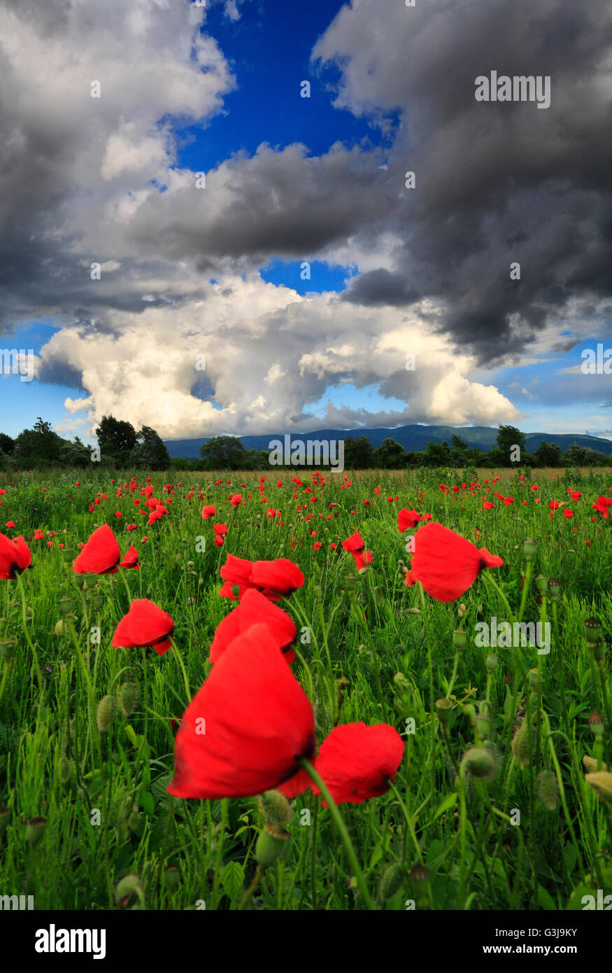 Poppy flowers and stormy clouds - Stock Image