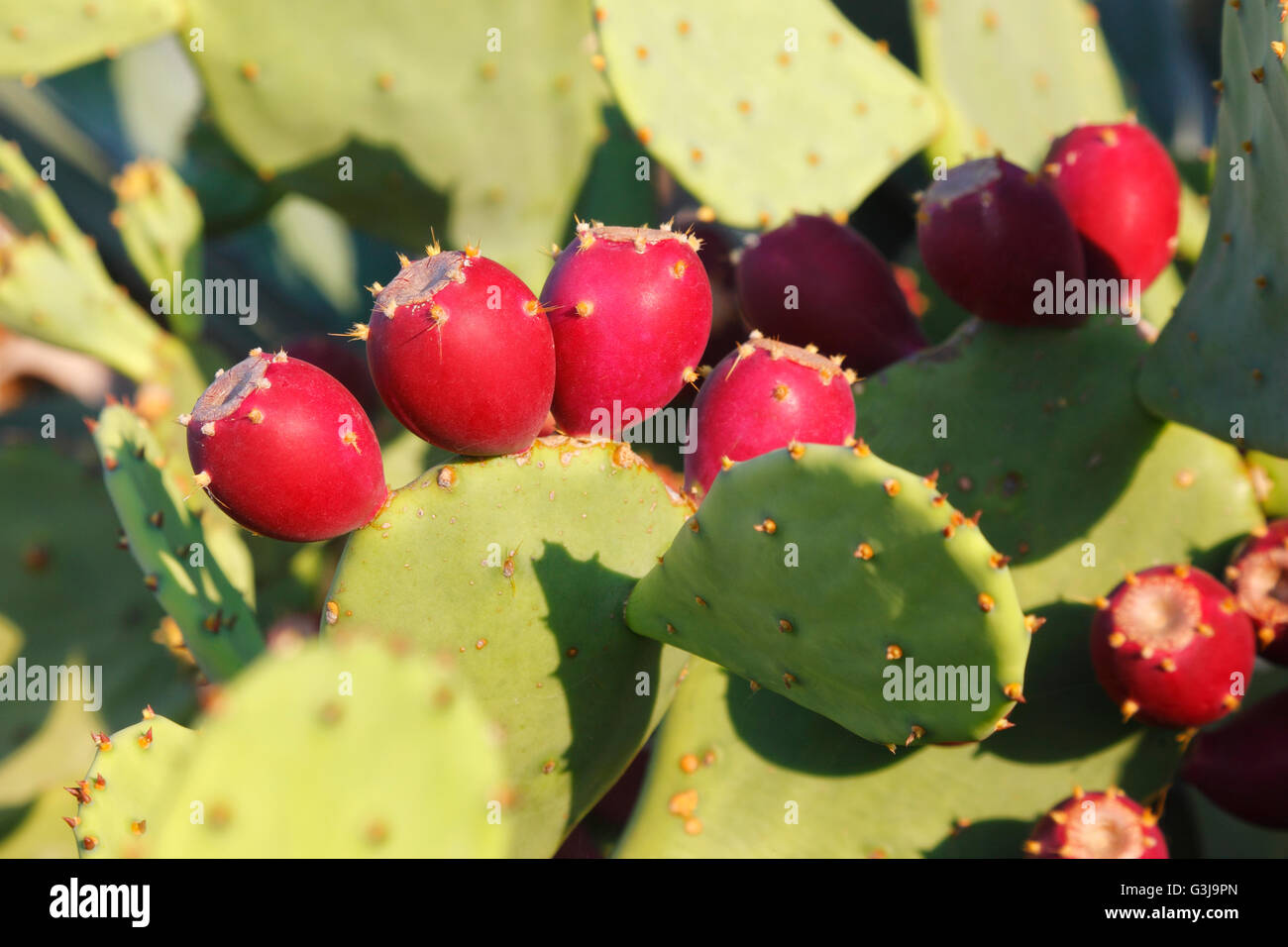 Red ripe prickly pear fruit of the Cactus - Stock Image