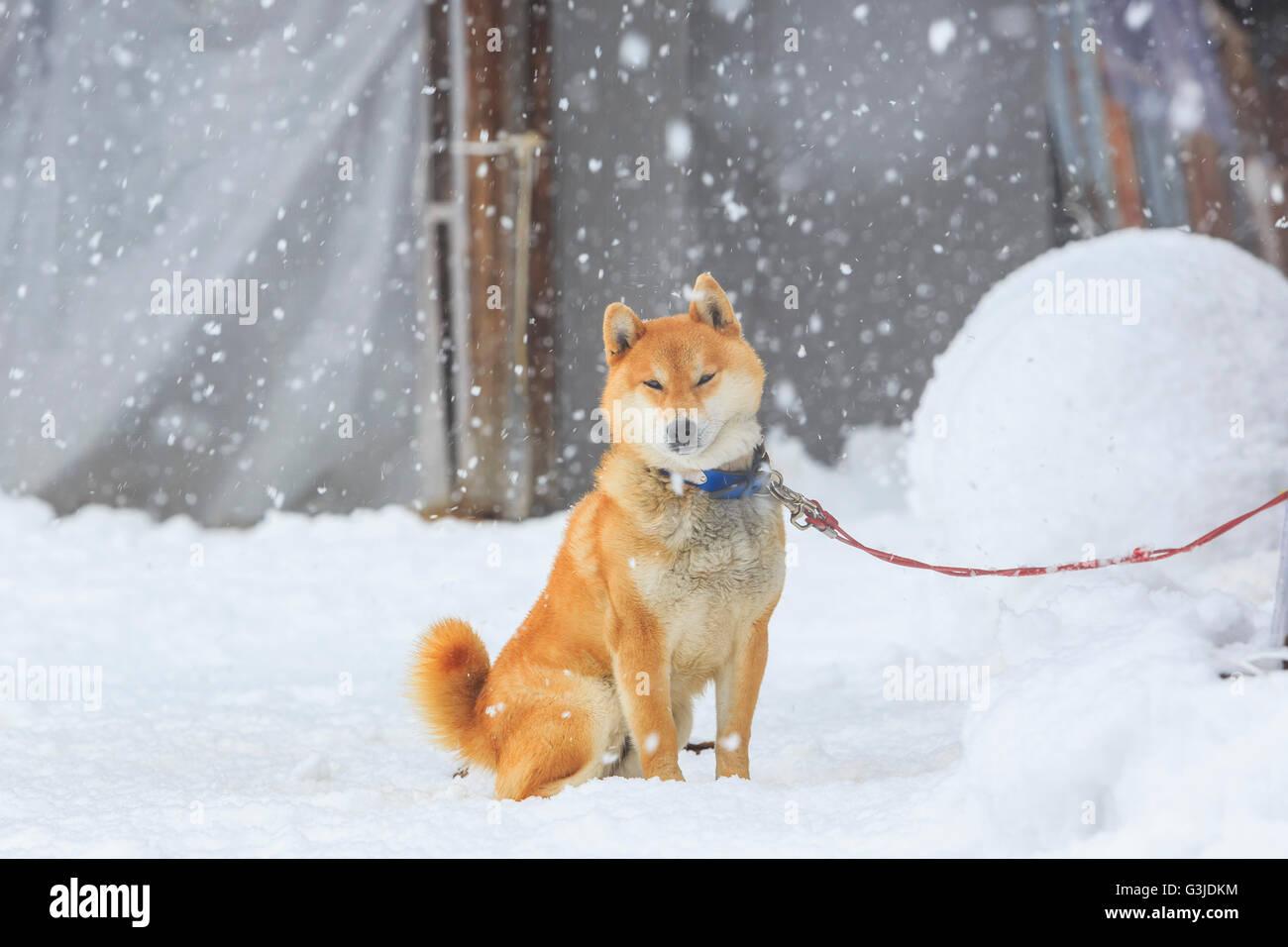 Dog sleeping at Historic Villages of Shirakawa-go in a snowy day - Stock Image