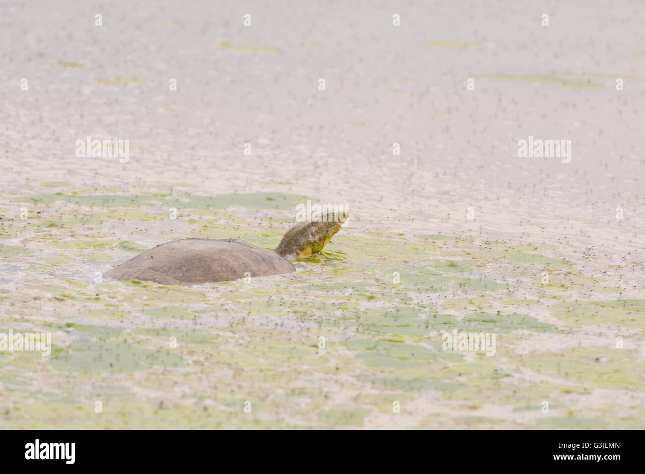 Texas Spiny Softshell, (Apalone spinifera emoryi), Bosque del Apache National Wildlife Refuge, New Mexico, USA. - Stock Image