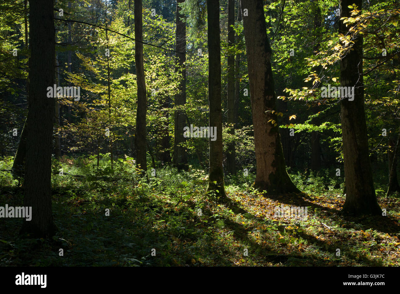 Shady deciduous stand of Bialowieza Forest in summertime morning,Bialowieza Forest,Poland,Europe - Stock Image