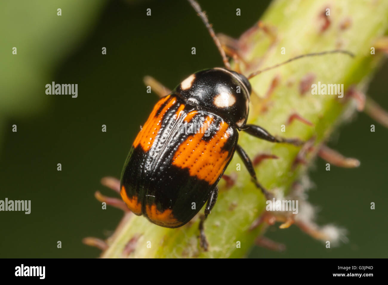 A Case-bearing Leaf Beetle (Bassareus mammifer) perches on plant stem. - Stock Image