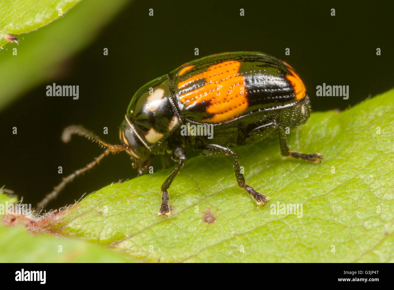 A Case-bearing Leaf Beetle (Bassareus mammifer) perches on a leaf. - Stock Image