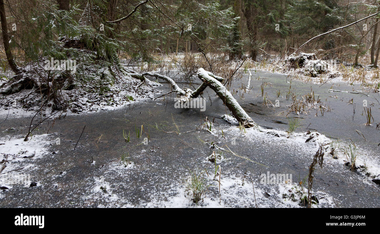 First snow in forest landscape with frozen water and spruces, Bialowieza Forest, Poland, Europe - Stock Image