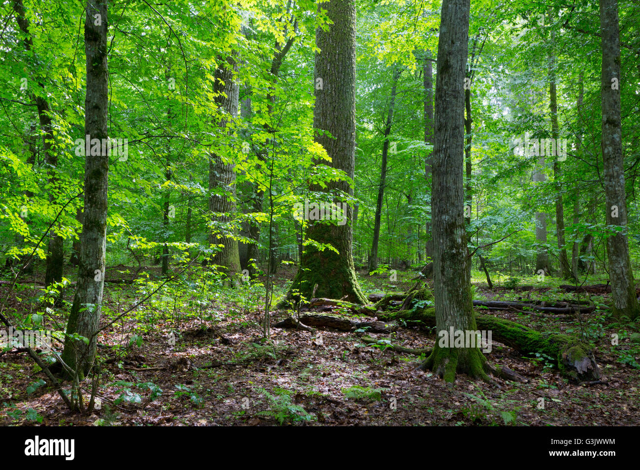 Primeval deciduous stand of natural forest in summertime,Bialowieza Forest,Poland,Europe Stock Photo