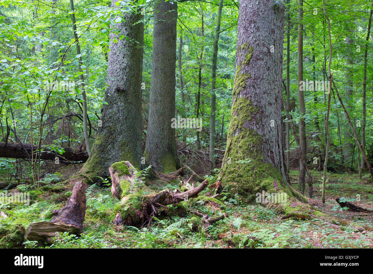 Group of old spruces inside deciduous stand of Bialowieza Forest,Poland,Europe - Stock Image