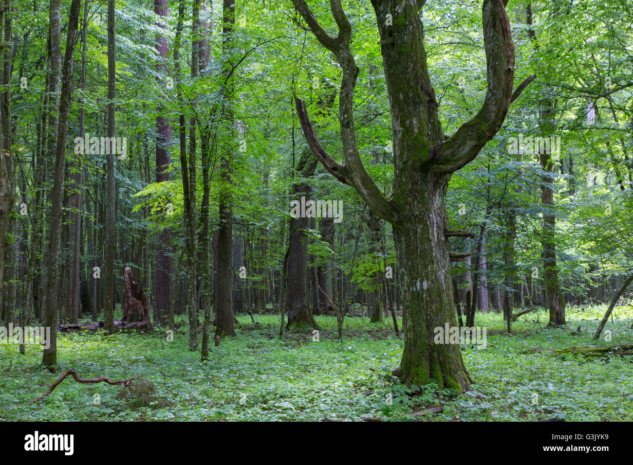 Old monumental Hornbeam Tree(Carpinus betulus) in front of deciduous stand in summer, Bialowieza Forest,Poland,Europe - Stock Image