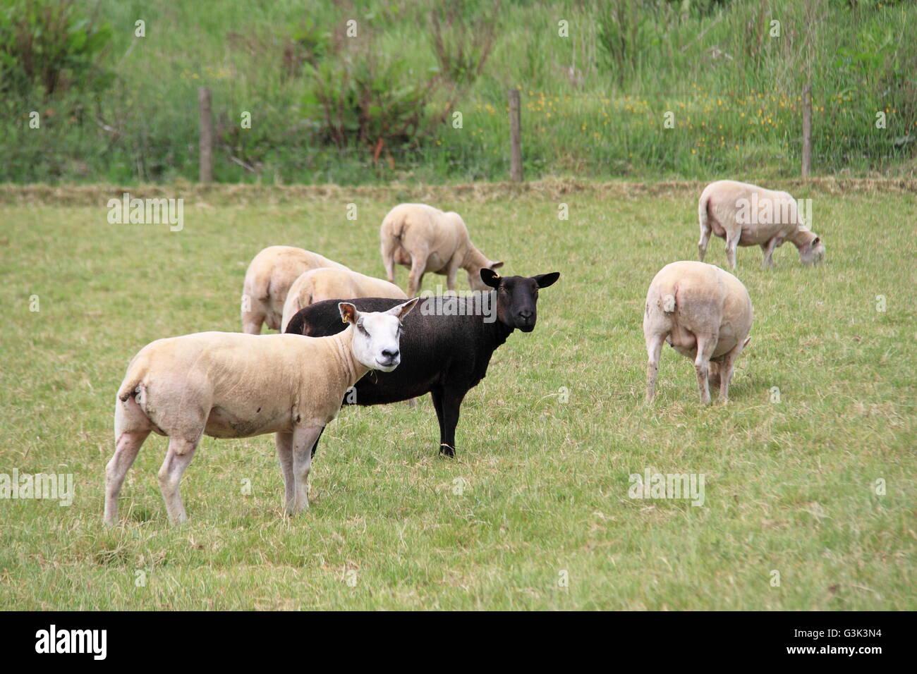 Black sheep of the family, Hay-on-Wye, Powys, Wales, Great Britain, United Kingdom, UK, Europe - Stock Image