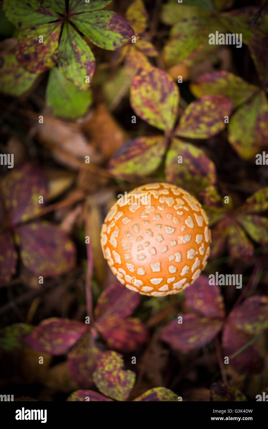 Amanita muscaria, commonly known as the fly agaric or fly amanita, is a mushroom and psychoactive basidiomycete - Stock Image