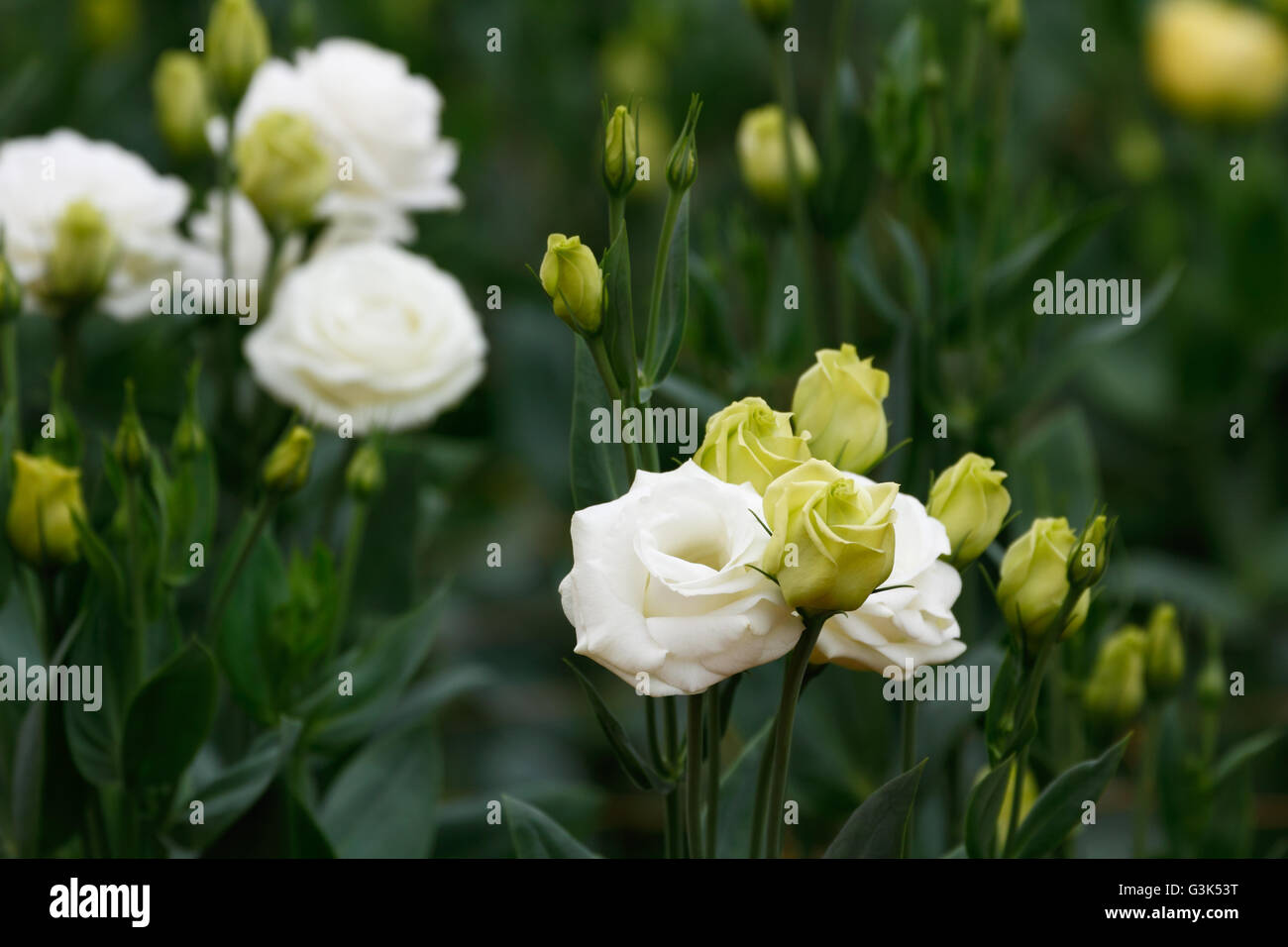Lisianthus / Eustoma flowers (White rose) the plant that look like a white rose but without thorns - Stock Image