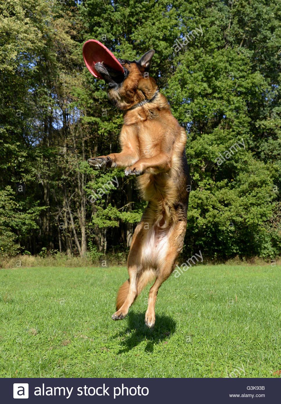 German Shepherd dog jumping taking frisby - Stock Image