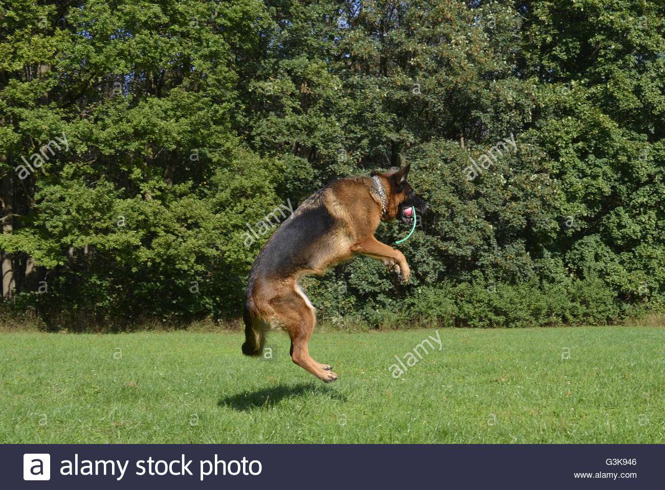 German Shepherd jumping female dog - Stock Image