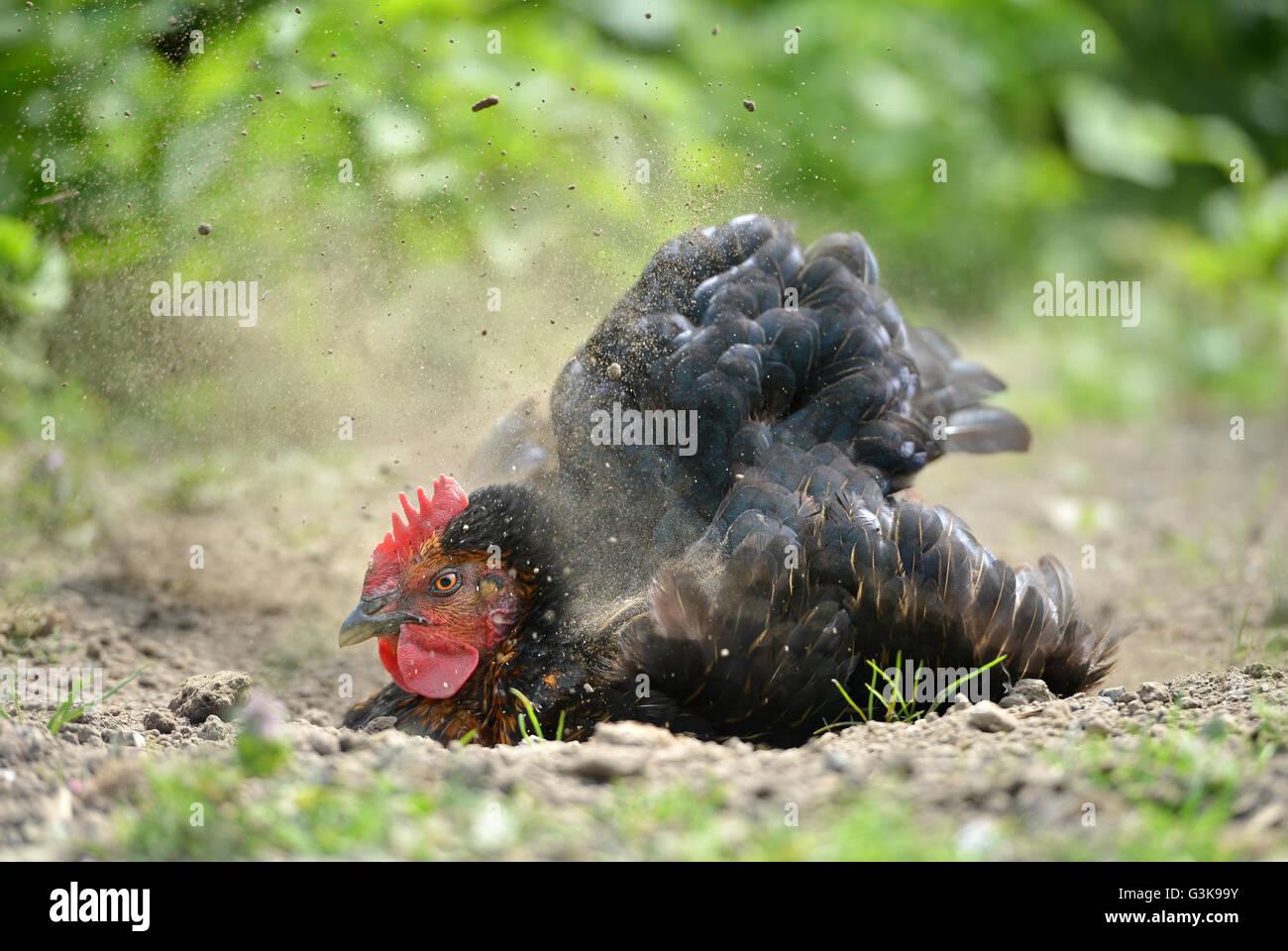 Chicken dust bath - Stock Image