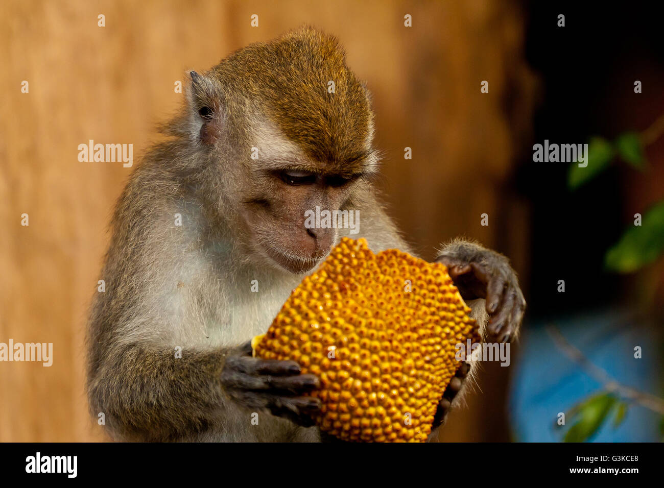 Wildlife monkey eats jackfruit - Stock Image