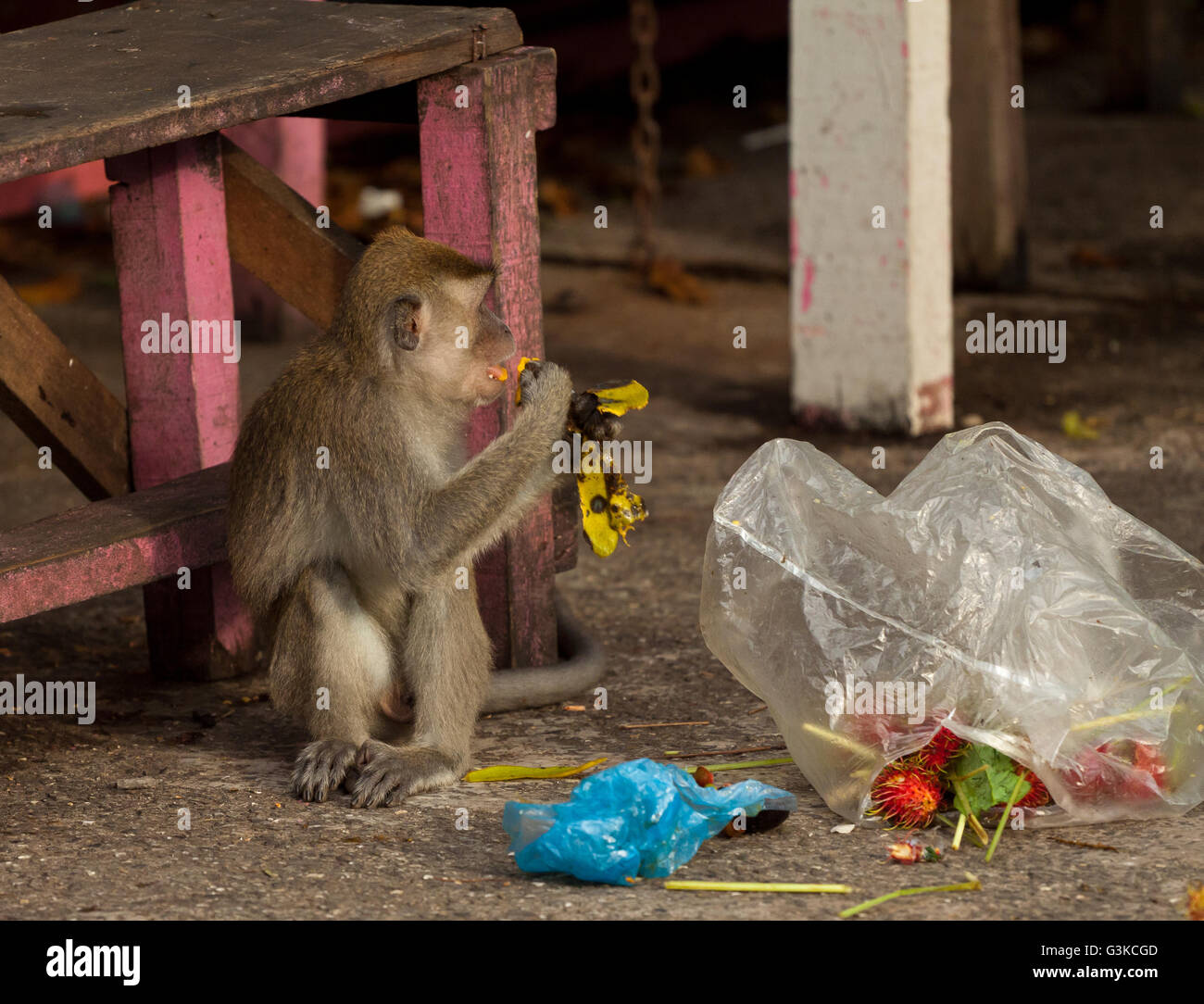 Wildlife monkey is steeling garbage, Brunei - Stock Image